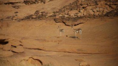 السعودية تعيد توطين حيوانات فطرية مهددة بالانقراض في محمیة شرعان الطبيعية