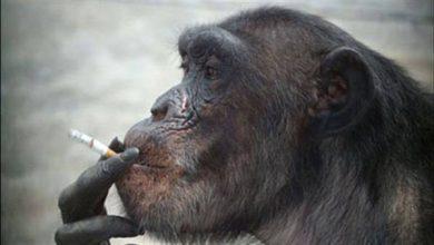 """بالفيديو…شمبانزي ينظف قفصه بالمكنسة """"مثل المحترفين"""" – بوابة الأسبوع"""