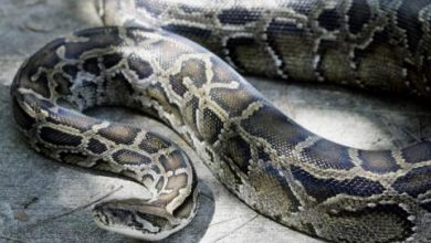 حفاظاً على الحياة البرية... الثعابين قد تنضم قريباً إلى قوائم المطاعم بفلوريدا