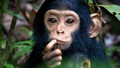 ولادة نادرة لشمبانزي في محمية طبيعية بغينيا – بوابة الأسبوع
